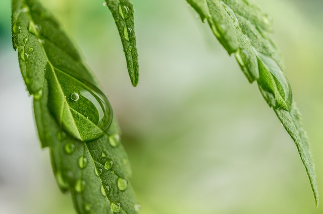 Sativa Cannabis Dew Hemp Ganja Medical Marijuana